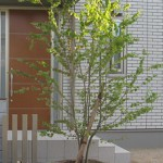 こんなイメージでしょうか?シンボルツリーは、ハートの葉が可愛らしい(かつら)なんてどうでしょうか?葉の色も美しいです。